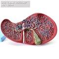 CMAM/12544 EINGEWEIDE Leber und gallenblase  Menschlichen Verdauungs System Medizinische Lehre Anatomisches Modell-in Medizinische Wissenschaft aus Büro- und Schulmaterial bei