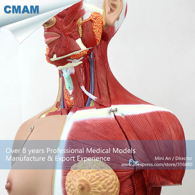 Online Shop 12016 Cmam Torso05 Anatomy Dual Sex Torso Muscle Model