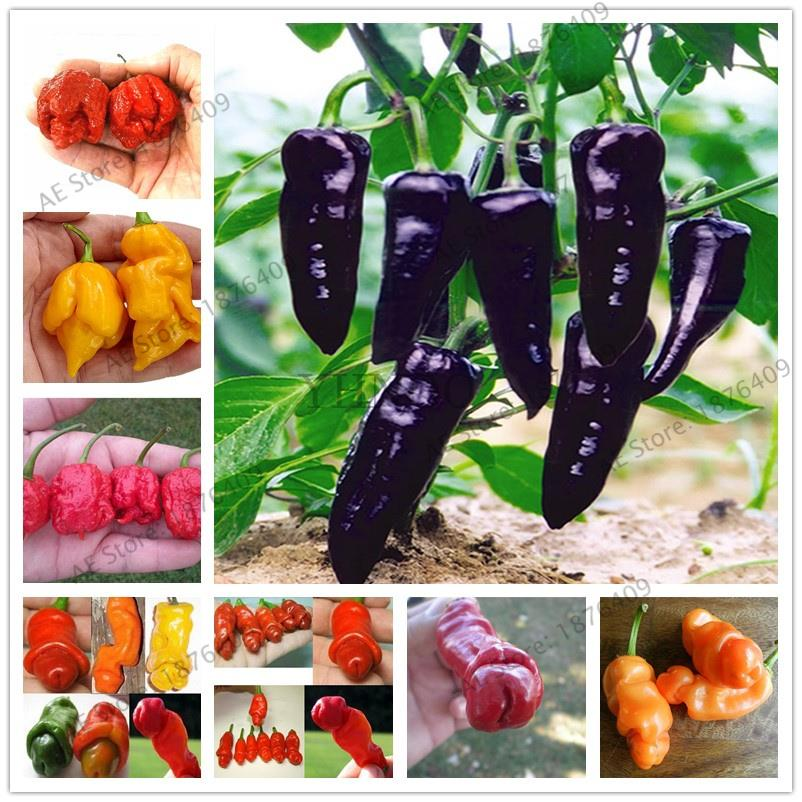 200Pcs Brazilian Chili Hot Pepper Bonsai Ubatuba Cambuci Capsicum Baccatum Organic Bonsai Vegetables Outdoor Plant Pot