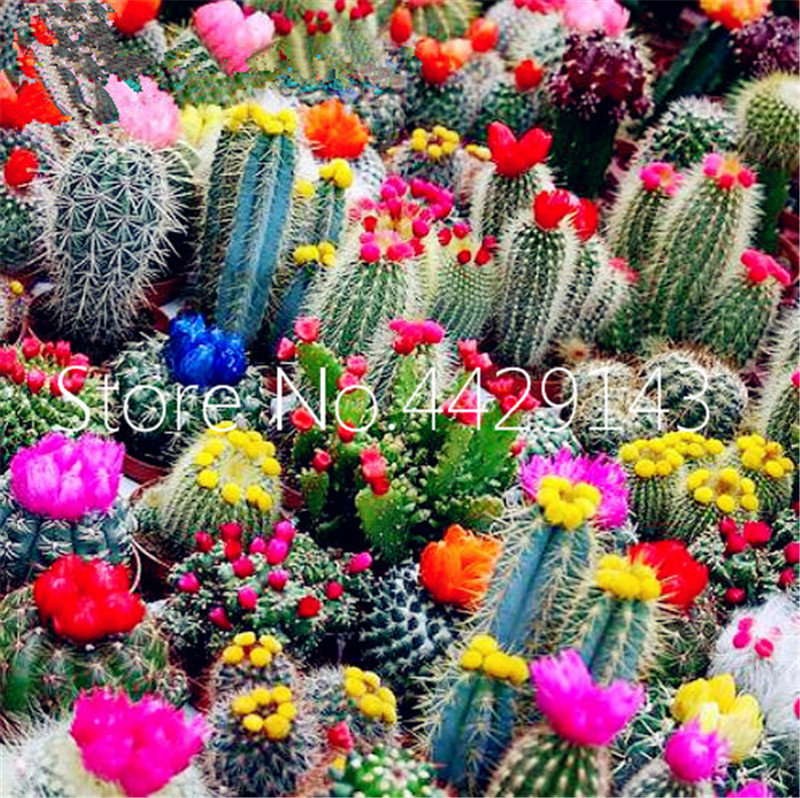 1000pcs Rare Cactus Plants Anese Best Ing Succulents Flower Tes Bonsai Indoor Flowers Pot In From Home Garden On