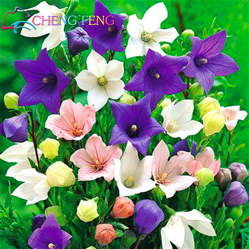 100 seeds pack balloon flower astra pink bellflower bonsai japan 100 seeds pack balloon flower astra pink bellflower bonsai japan platycodon grandiflorus rare flower seeds home garden watch in bonsai from home garden mightylinksfo