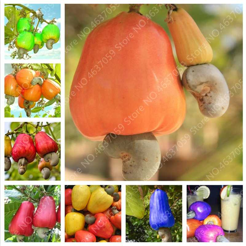 5 PCS Imported Cashew Garden Plant Outdoor Rare Anacardium Occidentale Tropical Tree Fruit Plant for Flower Pot Free Shipping