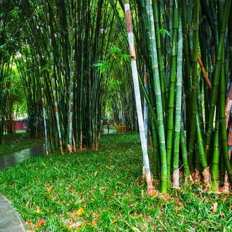 unids rare gigante moso bamb semillas jardn de diy semillas plantas de jardn en casa