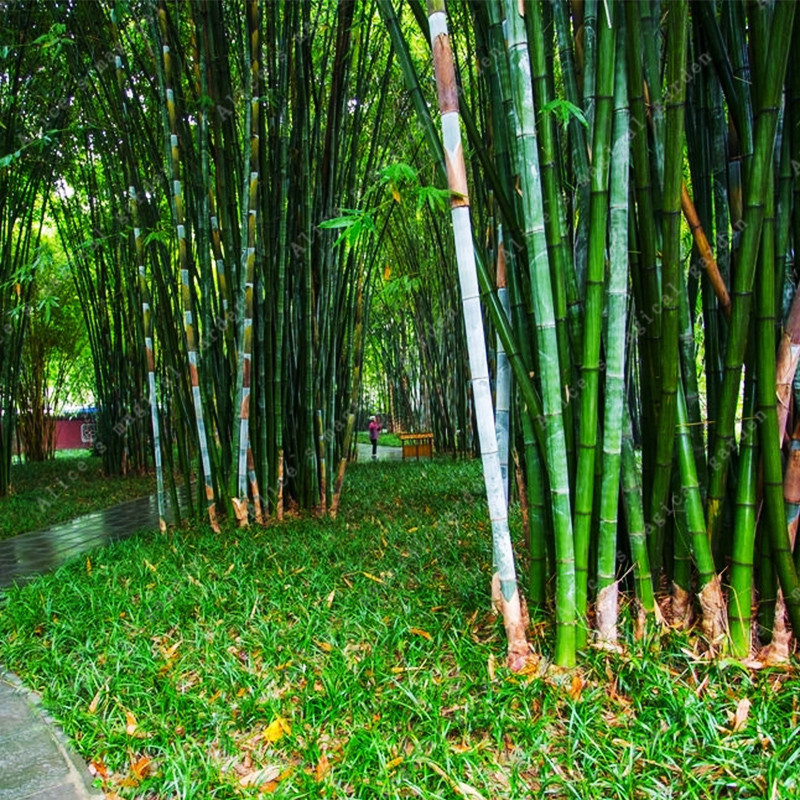 Online buy wholesale cheap bamboo plants from china cheap for Cheap trees