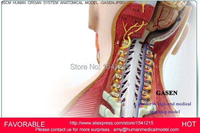 Aliexpress Buy Human Muscle Anatomy Torso Organs Anatomical