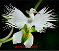 100pcs/bag Japanese Radiata Seeds White Egret Orchid Seeds World's Rare Orchid Species White Flowers Orchidee for Garden & Home