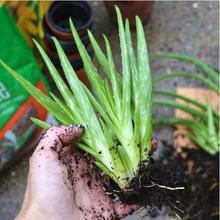 100 АЛОЭ ВЕРА Алоэ Семена Mix-Отличные Комнатных Растений сочные СЕМЕНА Сад Бонсай