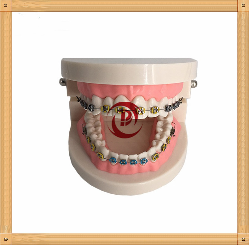 Dentistry Education Model/Orthodontic teeth model/Adult tooth brushing model  molecular dentistry