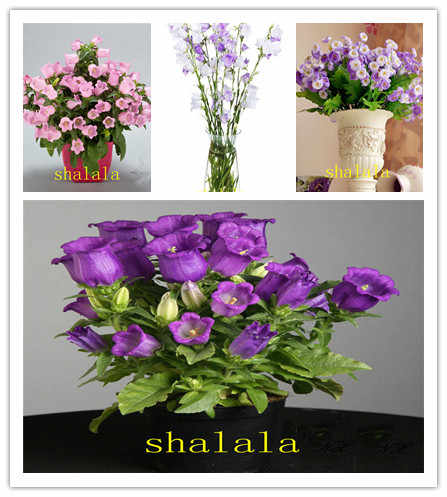 AliExpress & Campanula bonsai Flowers Charming Colors Potted Flower Plants Outdoor Plant For Convallaria garden 100 pcs/pakge