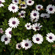 White Osteospermum Seeds Potted Flowering Plants Blue Daisy Flower Seeds for Home Garden 50 Particles / lot
