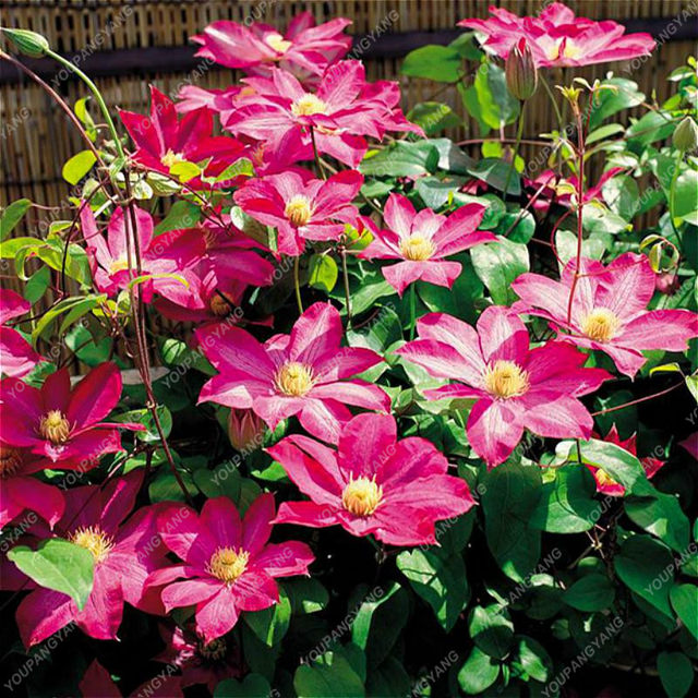 Online shop hot sale 100pcs exotic climbing clematis flowers plants hot sale 100pcs exotic climbing clematis flowers plants of flower vines plants bonsai perennial flower plants for home garden mightylinksfo