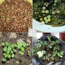 Red giant Climbing Strawberry Seeds Fruit Seeds For Home & Garden DIY rare seeds for bonsai – 1000seeds