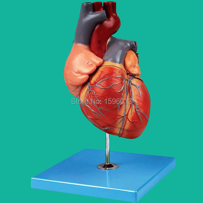 Magnified Heart Anatomical Model, Adult Heart Model все цены