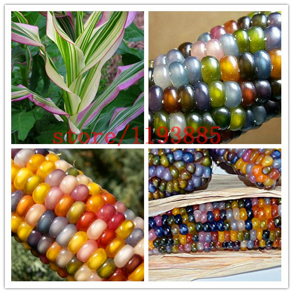 20pcs bag corn seeds Authentic Glass Gem Indian Corn Seeds Heirloom Rainbow Non GMO vegetable seeds