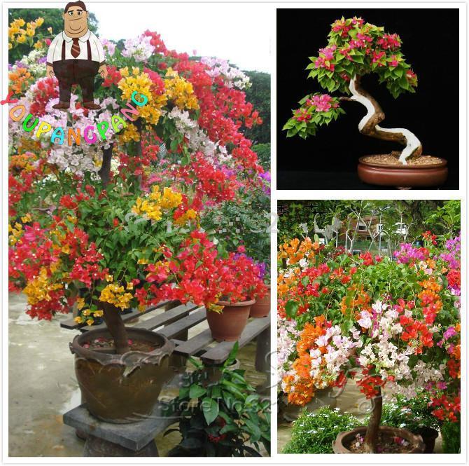100pcs colorful bougainvillea plants balcony flower pot garden