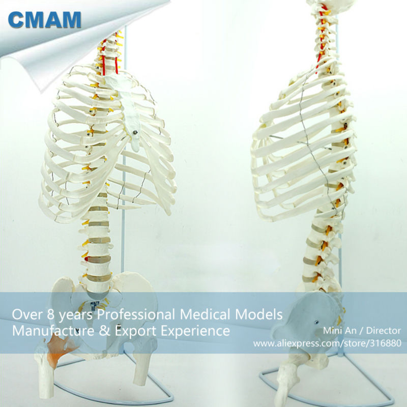 12380 CMAM-SPINE07 Life-Size Sternum with Fumer for Medical School Education culturally responsive pre school education