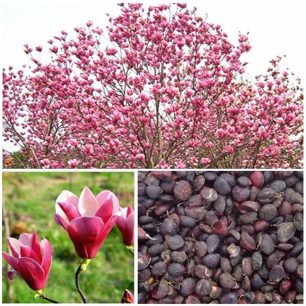 Magnolia rbol de la flor compra lotes baratos de - Semilla de magnolia ...