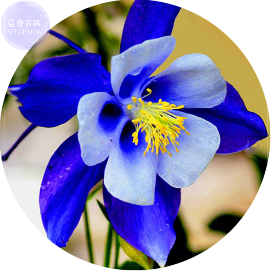 50 pc bellfarm rare aquilegia blue columbine perennial flower seeds name izmirmasajfo