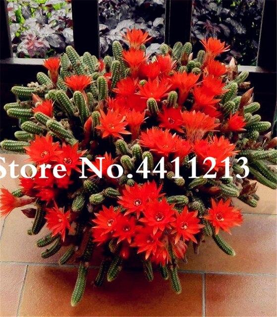 100 pz semi di Piante Succulente Pianta di Cactus Lithops Fiore Bonsai Epiphyllum Fiore di Bellezza Il Vostro Cortile Impianto FAI DA TE Giardino di Casa