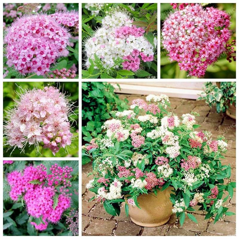 100 Pcs Spiraea Seeds Very Beautiful Rare Perennial Flower