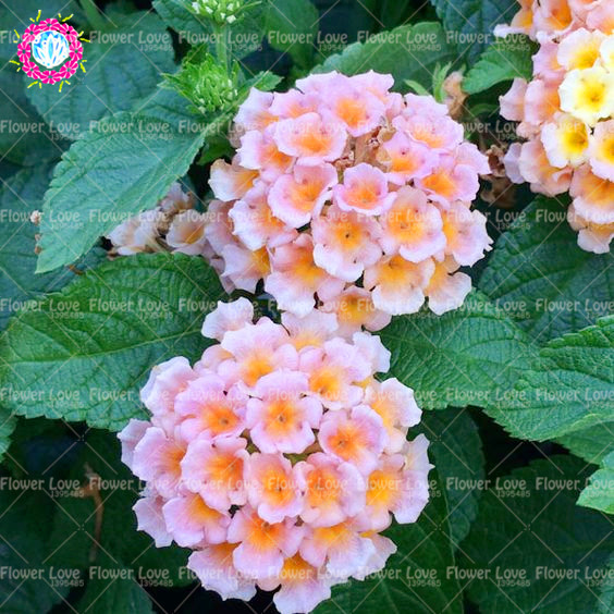 50 pcs bonsai lantana camara plant five color hydrangea plant rare 50 pcs bonsai lantana camara plant five color hydrangea plant rare gorgeous flower plant perennial garden plant in bonsai from home garden on mightylinksfo