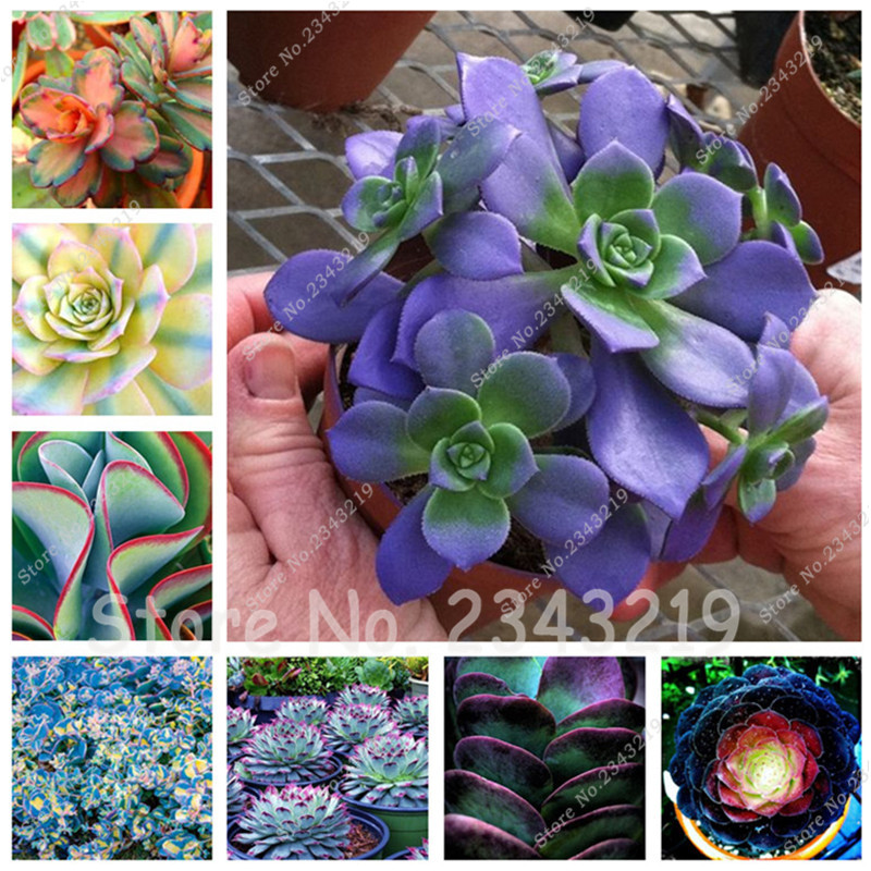 Free Shipping! 100 pcs Meaty Seeds Succulent Plant Seeds Pseudotruncatella Living Stone Rare Flower Seeds Home Garden Plant seed