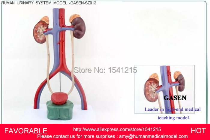 HUMAN URINARY SYSTEM MODEL KIDNEY ARTERIOVENOUS BLADDER MEDICAL SCIENCE TEACHING SUPPLIES,HUMAN URINARY SYSTEM MODEL-GASEN-SZ013 dongyun brand human kidney anatomical model glomerulus amplification model urinary system medical science teaching supplies