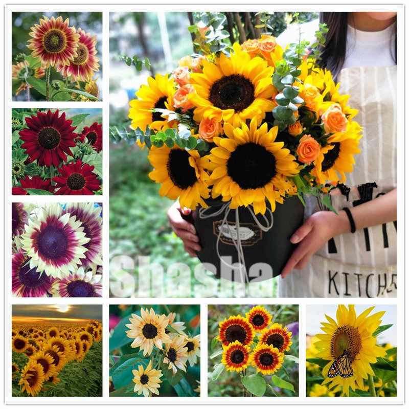 20 Pcs Hot Sale Spend Sunflower flower Organic Helianthus Annuus Edible plants for Gardening Ornamental Flowers Mini Bonsai