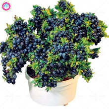 200pcs american giant blueberry fruit seeds,Germination 95%+,rare fruit tree seeds for home garden planting supplies bonsai seed