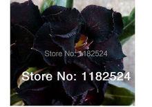20 семена — свежий редкие » черный болото » Adenium Obesum семена — бонсай семена