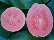 New Home Garden Plant 20 Seeds Fresh Sweet Red Guava Psidium Guajava Thai Pink Fresh Large Fruits Free Shipping