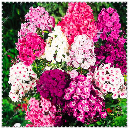 Fragrant phlox seeds perennial potted flower seeds 200 seedspack ebay fragrant phlox seeds perennial potted flower seeds 200 seedspack mightylinksfo Image collections