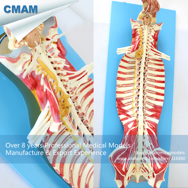 12311 Cmam Muscle17 Human Spinal Cord In The Spinal Canal Anatomy