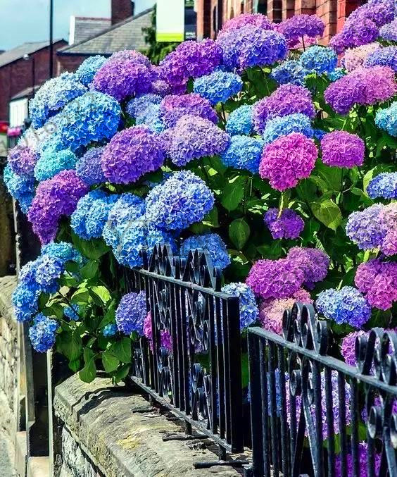 Genuine!20pcs Hydrangea bonsai perennial flower flores beautiful wedding party flower plant for home and garden ,#MPJ4C2(China)