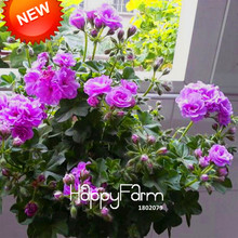 New Fresh Seeds 20 Pcs/Pack Purple Univalve Geranium Seeds Perennial Flower Seeds Pelargonium Peltatum Seeds for Rooms,#FLYTSG