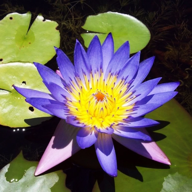 5 Blue Lotus Nymphaea Caerulea Asian Water Lily Pad Flower Pond In