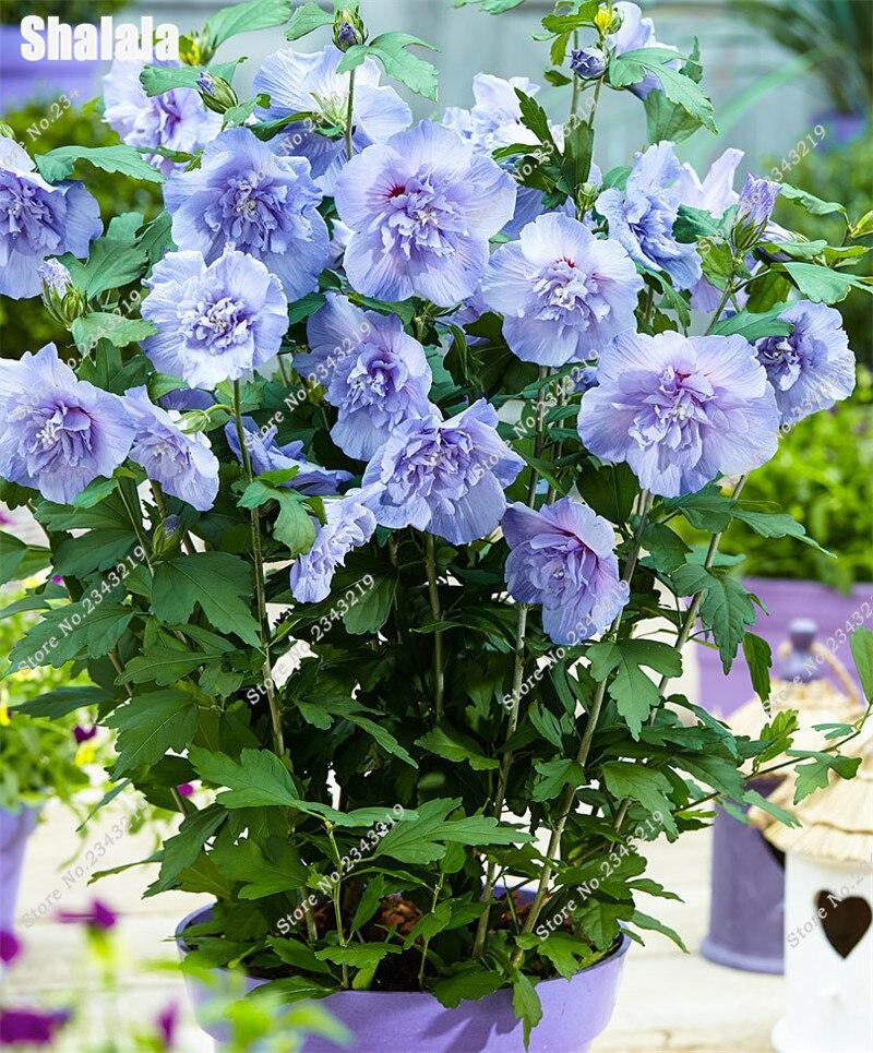 Achetez en Gros hibiscus couleur en Ligne à des Grossistes ...
