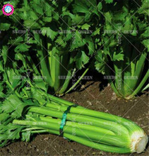100pcs Chinese organic celery seeds green Non-GMO vegetable seeds Edible planting for spring farm supplies 95% Germination rate