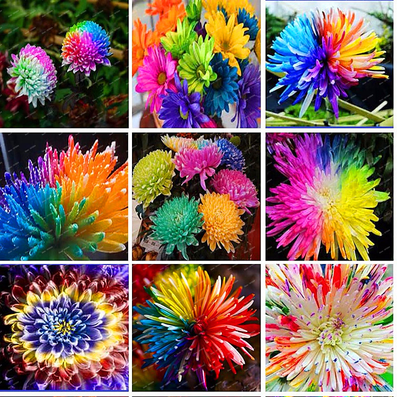 Free Shipping 100pcs/bag Rainbow Chrysanthemum seeds Flower Seeds Rare Flower DIY Home Garden Flower ...
