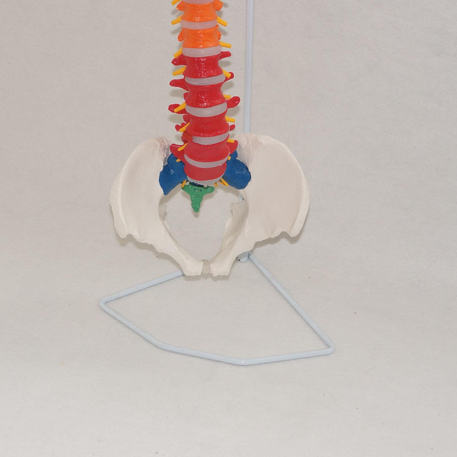 Farbige Didactic Flexible Wirbelsäule Anatomie Modell Menschliches ...