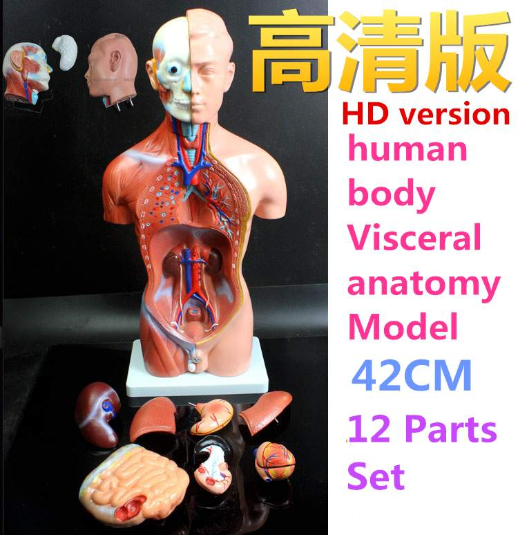 Medical teaching model 42CM 12part human torso anatomical model human organs visceral muscle model Trunk anatomy model Removable 4d anatomical human brain model anatomy medical teaching tool toy statues sculptures medical school use 7 2 6 10cm