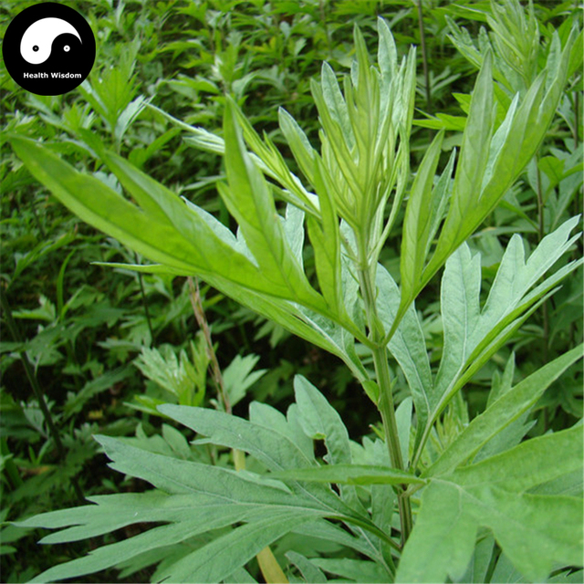US $5 99 |Buy Artemisiae Argyi Semente 150pcs Plant Argy Wormwood Herb For  Mugwort Ai Cao Ye-in Bonsai from Home & Garden on Aliexpress com | Alibaba