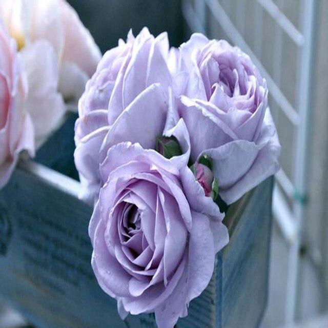 Austria 50pcs New Varieties Of Lavender Flower Petals Than Juliet