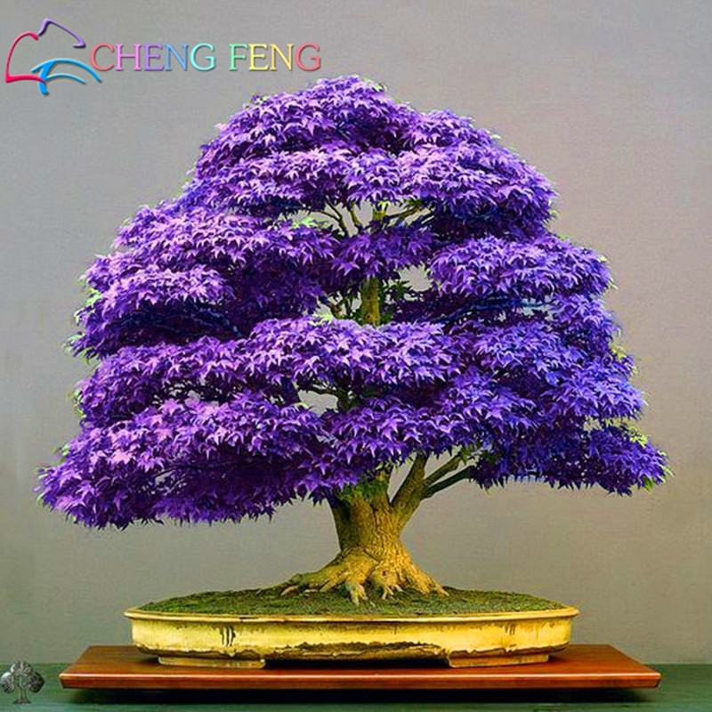 20pcs Purple Maple Seeds Rare In The World Canada Is A Beautiful Purple Maple Bonsai Plants Trees For Home Garden Free Shipping
