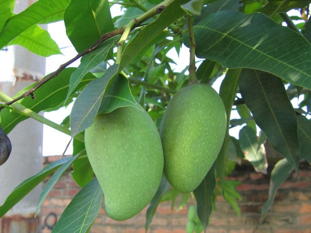 Jinmang fruit seeds for home and gardening