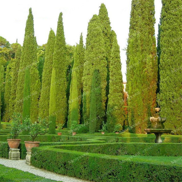 arbre graines 50 pcs cypr s italien cupressus sempervirens stricta graines accueil jardinage. Black Bedroom Furniture Sets. Home Design Ideas