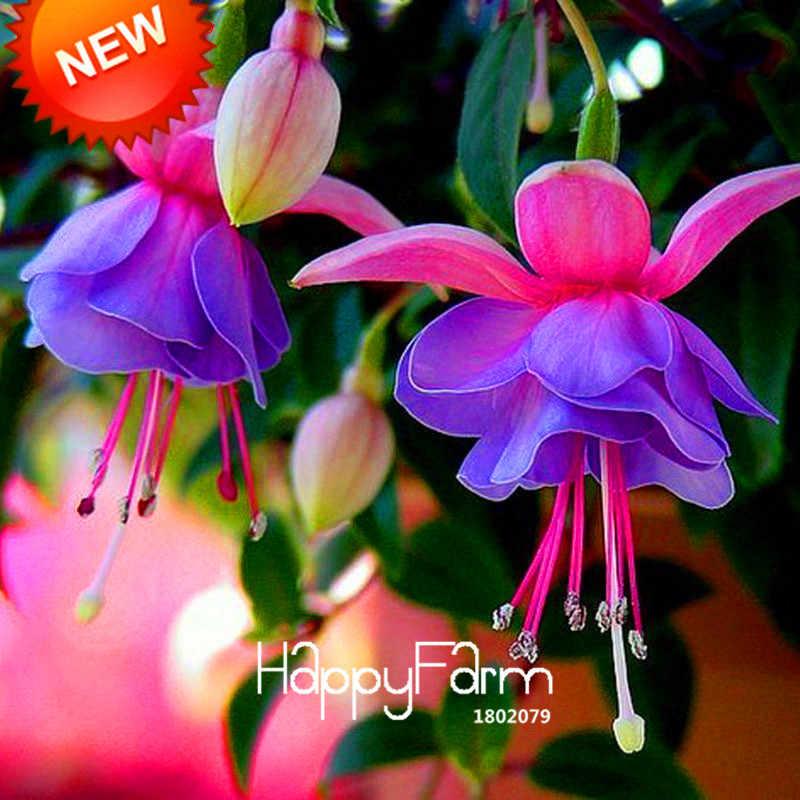 قادم جديد! الأرجواني مزدوجة بتلات فوشيا بونساي بوعاء زهرة حديقة أصائص زرع الشنق فوشيا الزهور 100 فلوريس/مجموعة ، # HQ5X17