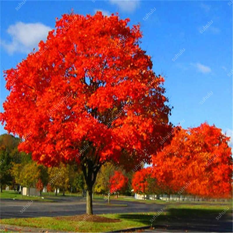10 قطعة البلوط الأحمر الأمريكي بونساي شجرة الكريكوس المعمرة النباتات الخشبية فناء الديكور لزراعة حديقة المنزل ، سهلة لزراعة