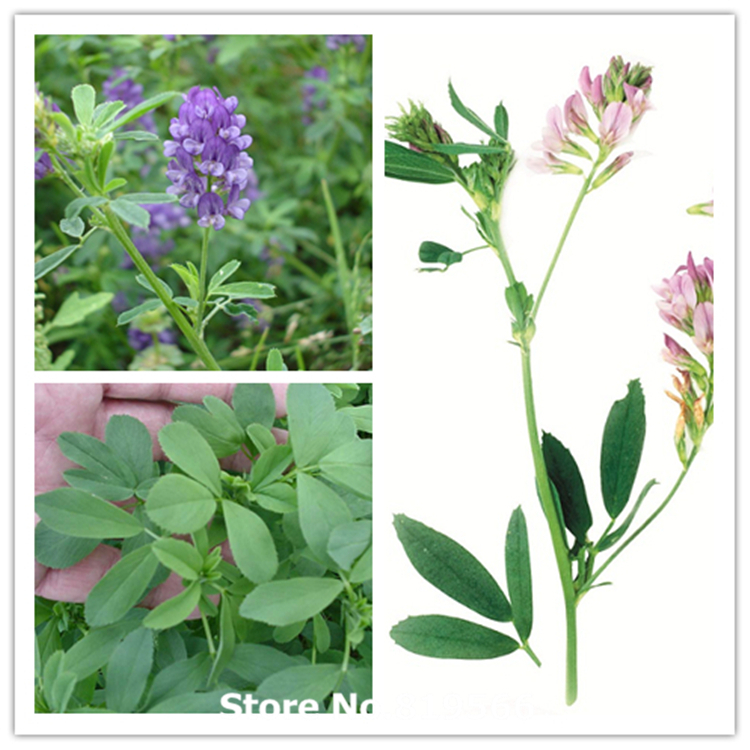 Alfalfa. Sus propiedades. Real-chinese-Medicago-sativa-seeds-indoor-Bonsai-Purple-font-b-Alfalfa-b-font-Outdoor-font-b