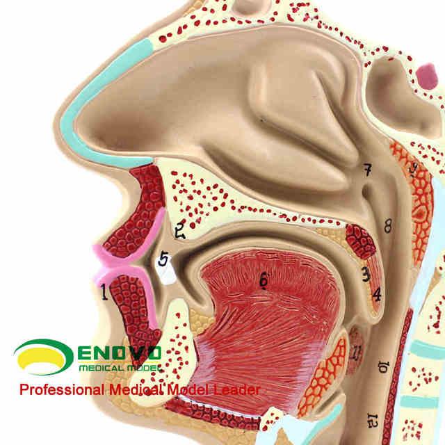 Nasopharynxkarzinom anatomie modell nasopharynxkarzinom hohlraum ...